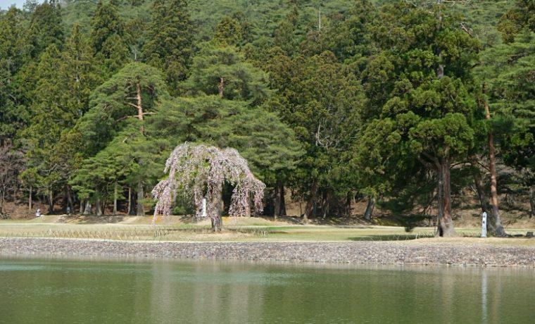 毛越寺の桜の写真