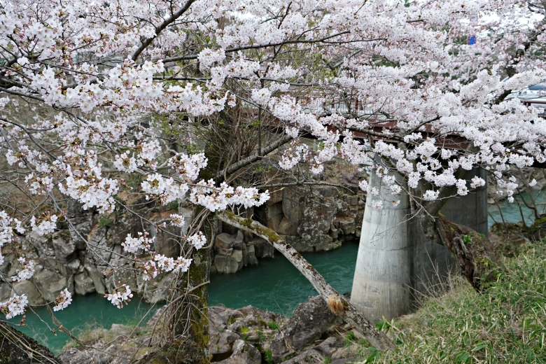 厳美渓の桜3